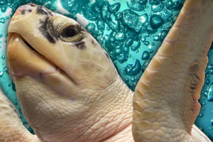 Saving Sea Turtles: Preventing Extinction