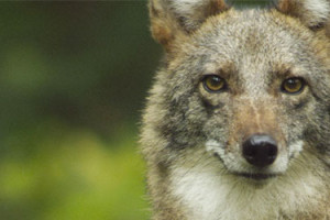 Sea Change Film Series: Meet the Coywolf